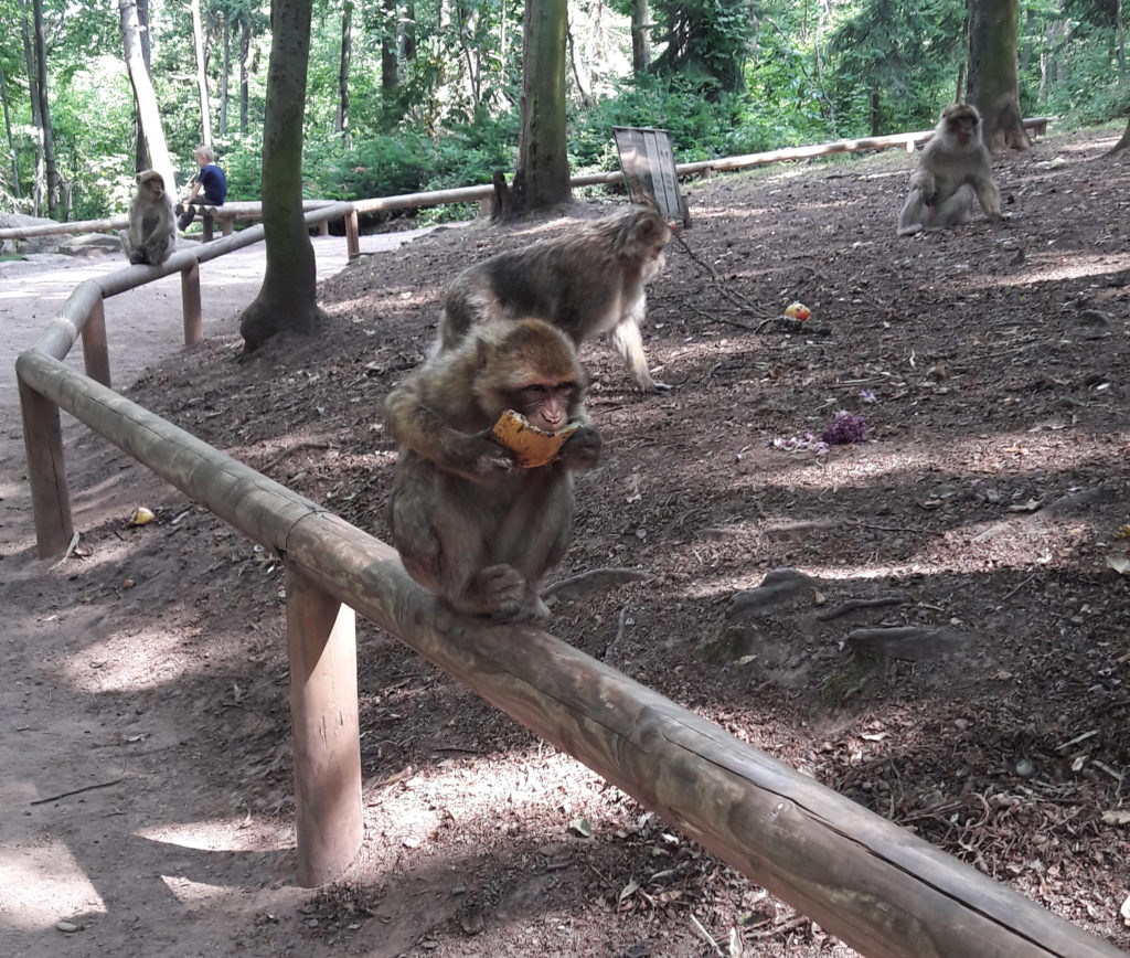 singe en train de manger
