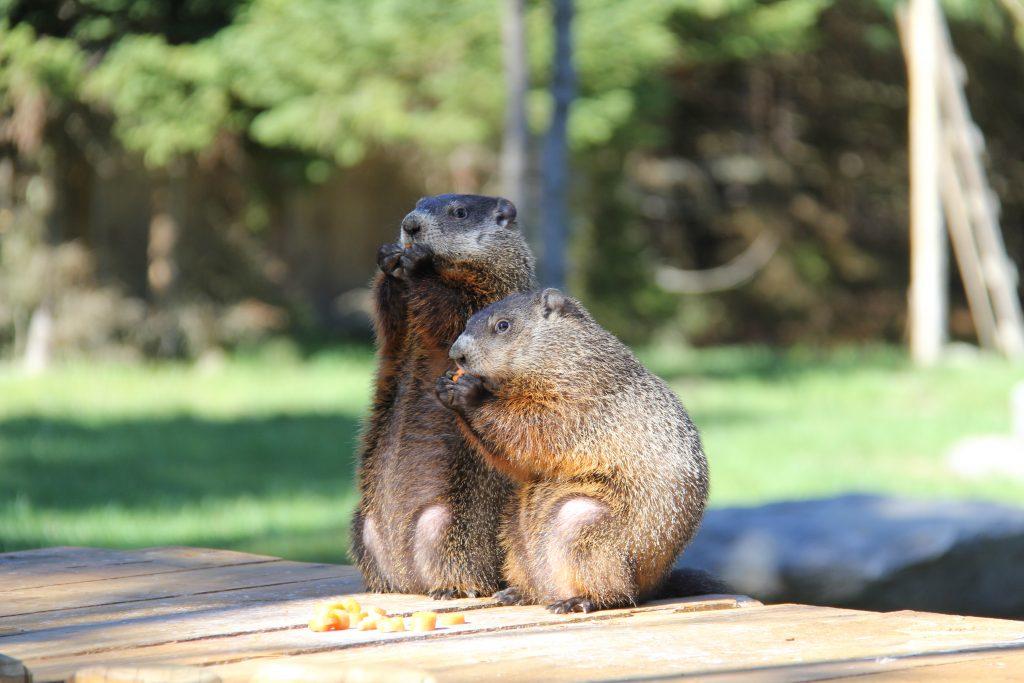 Les marmottes du parc Oméga